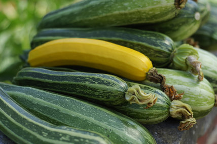 Courgettes and marrows, grown in the Walled Garden at Calke Abbey, Derbyshire