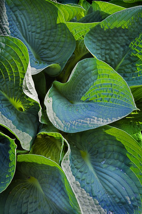 Close view of Hosta leaves at Dunham Massey, Cheshire