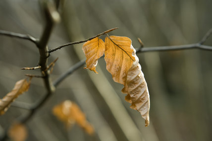 Close view of the leaves of the Beech tree (Fagus sylvatica) in Leigh Woods on the West bank of the River Avon, Bristol