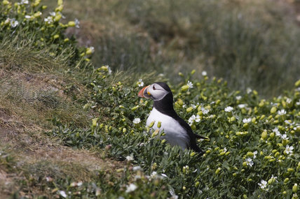 Puffin (Fratercula arctica) amongst ground cover in the Inner Farne, Farne Islands