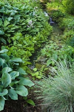 The stream bordered by Hostas and other damp-loving plants in the Bog Garden at Great Chalfield Manor, Wiltshire
