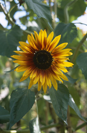 Sunflower in the walled garden at Wimpole Hall , Cambridgeshire