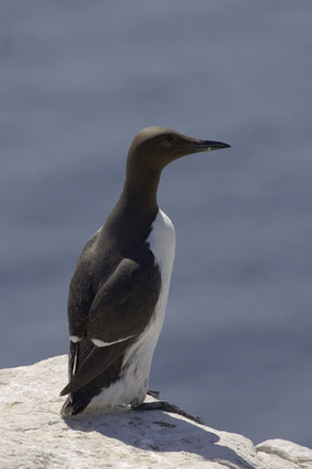 Guillemot (Uria aalge) in the Inner Farne, Farne Islands