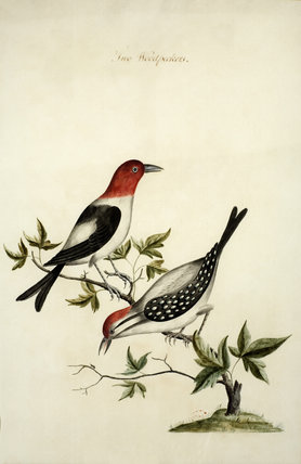 Two woodpeckers - One of a series of thirteen bird and butterfly paintings in the Small Dining Room in the new house at Scotney Castle, Kent