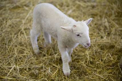 A lamb in the Piggery at Wimpole Home Farm; the farm was built in 1794 and is now home to a variety of rare animal breeds