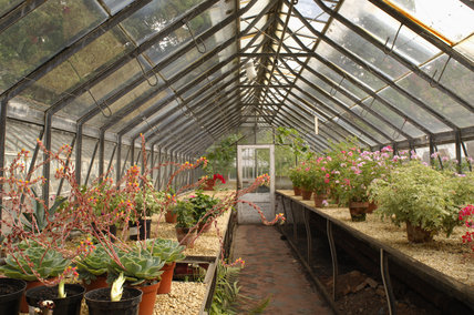 Echeveria elegans in pots in one of the glasshouses at Tyntesfield, Wraxall, North Somerset
