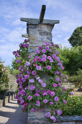Part of the Rose Garden, created in the 1950s, at Compton Castle, Devon