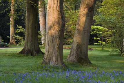 Trees and bluebells in the garden at Dunham Massey, Cheshire