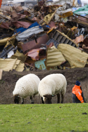 Sheep grazing peacefully following the aftermath of the MSC Napoli shedding its cargo, now washed up on the beach at Branscombe, Devon