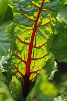 Sunlight shining through the leaves of ruby chard in the Kitchen Garden at Calke Abbey, Derbyshire