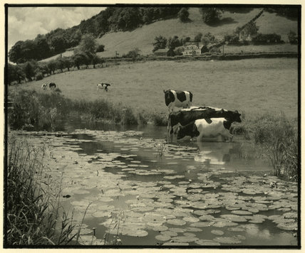 Lake with Cows