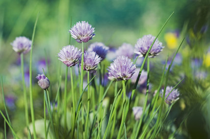 Chives in the Kitchen Garden at Ham House, Richmond-upon-Thames
