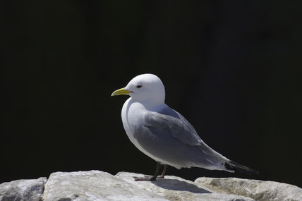 Kittiwake (Larus tridactyla) on the Inner Farne, Farne Islands