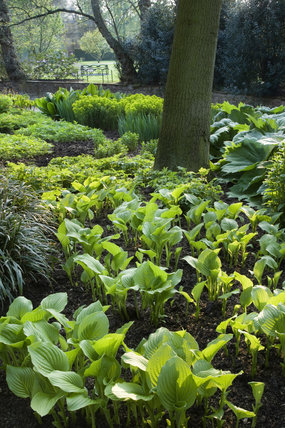 Hostas in the garden at Dunham Massey, Cheshire