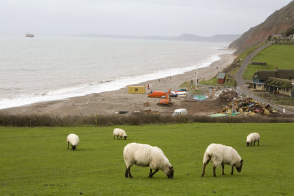 Sheep on the cliff top above the aftermath of the MSC Napoli shedding its cargo, now washed up on the beach at Branscombe, Devon