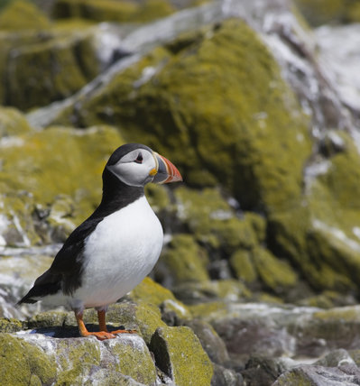 Puffin (Fratercula arctica) in the Inner Farne, Farne Islands