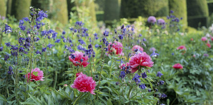 Close up of Paeonia, peony and Aquilegia, Columbine, at Hidcote Manor Garden, in late May
