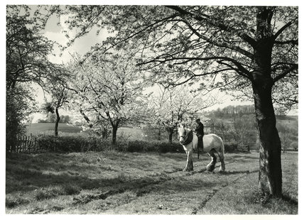 Shire Horse and Cherry Blossom