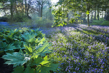 Backlit trees and bluebells in the garden at Dunham Massey, Cheshire