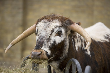 Longhorn cattle feeding in the yard at Wimpole Home Farm; the farm was built in 1794 and is now home to a variety of rare animal breeds
