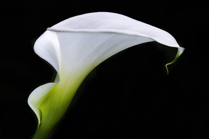 Profile view of an Arum lily at Dunham Massey, Cheshire
