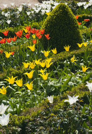 Springtime tulips and topiary hedging in the Courtyard at Coughton Court, Warwickshire