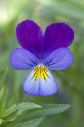 The delicate flower of Viola tricolor (Heartsease or Wild pansy) in the Kitchen Garden at Ham House, Richmond-upon-Thames