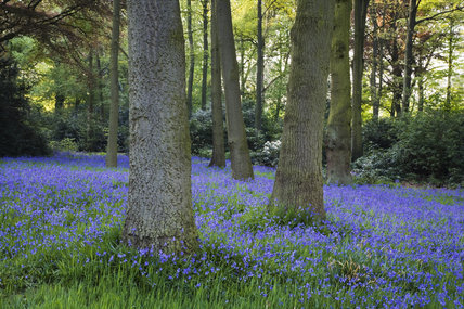 An abundance of bluebells in the Garden Wood at Dunham Massey, Cheshire