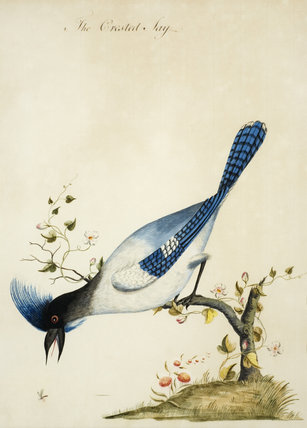 The Crested Jay - One of a series of thirteen bird and butterfly paintings in the Small Dining Room in the new house at Scotney Castle, Kent
