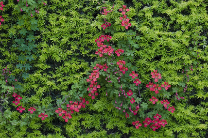 Tropaeolum speciosum also known as Flame creeper or Flame nasturtium, a herbaceous twining climber at Dunham Massey, Cheshire