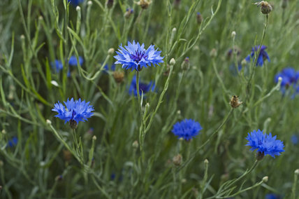 Cornflowers (Centaurea cyanus) in the Kitchen Garden at Ham House, Richmond-upon-Thames