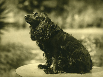 Mr & Mrs Glynne-Jones's Spaniel, Judith