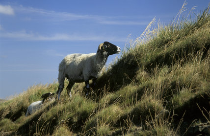 Sheep on the tussocky hillside at Mam Tor in Edale