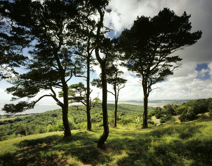 Scotts Pines overlooking the west of Arnside Knott & Morecambe Bay