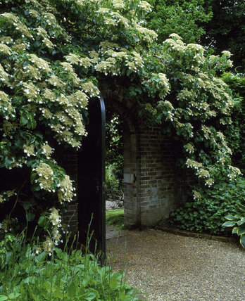 Hydrangea petiolaris growing around a doorway at Nymans Garden