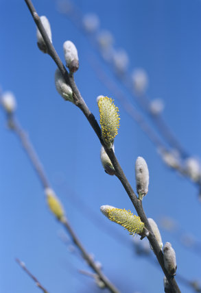 Close view of developing catkins on Salix aegyptiaca, Musk Willow, in the Winter Walk at Anglesey Abbey in early spring