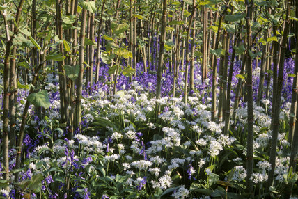 Bluebells and Wild Garlic in Emmetts Garden, Kent