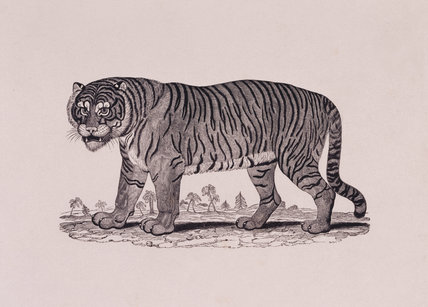 The Tiger by Thomas Bewick (1753-1828)