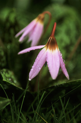 Flowers of Erythronium dens-canis (Dog's Tooth Violet), in March, glistening with over-night rain, in Emmetts Garden