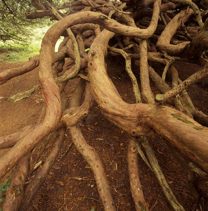 An ancient Yew tree's twisted and entangled roots, sinking into the mud red ground near the Crom Old Castle