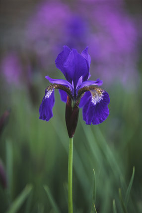 A purple Iris Sibirica 'Kenogami' in flower at Sissinghurst Castle Garden