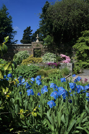 The Walled Garden at Rowallane with meconopsis betanicifolia brightly blue in the sunlight