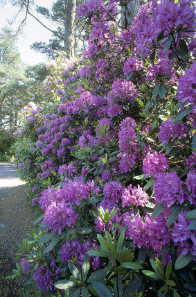 Close shot of rhododendrons in the garden at Cragside