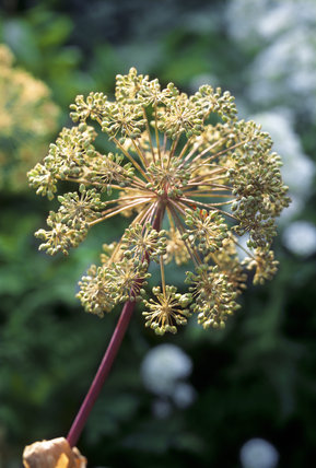 Close-up of angelica archangelica (Angelica seed head) in the Herb Garden at Acorn Bank