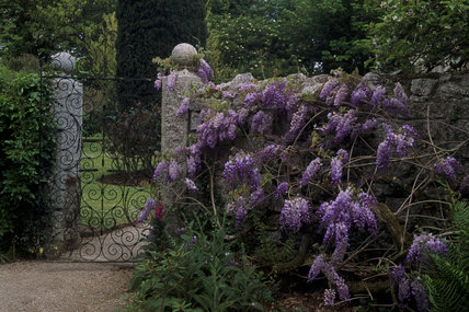 Glendurgan, wrought iron gate & purple wisteria