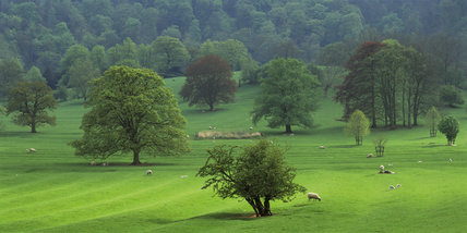 A panoramic view over Ilam Country Park in the South Peak District with sheep grazing amongst the trees