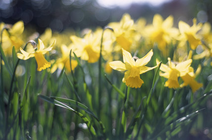 Close view of a clump of Narcissus