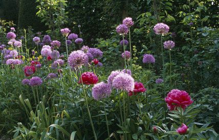 Close up of Paeonia, peonies and Allium at Hidcote Manor Garden, late May