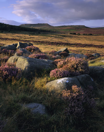 Heather amongst the lichen-covered boulders in the foreground of the view N.E. towards Hathersage Moor & Higger Tor from open moorland north of Burbage Brook on the Longshaw Estate.