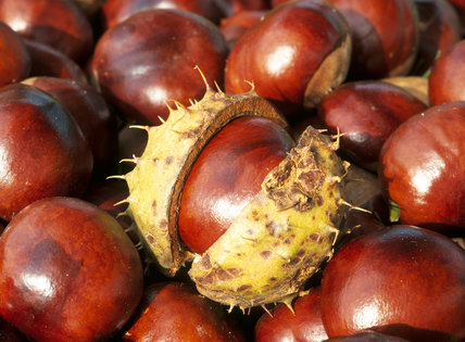 A close up of conkers, fruit of the Horse Chestnut tree 'Aesculus hippocastanum', one of which is partly in its husk